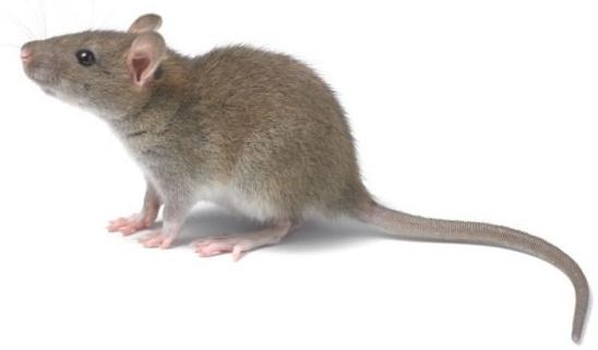 Tản mạn về chuột